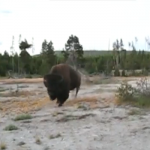 CHOC : UN BISON CHARGE UNE FEMME À YELLOWSTONE !